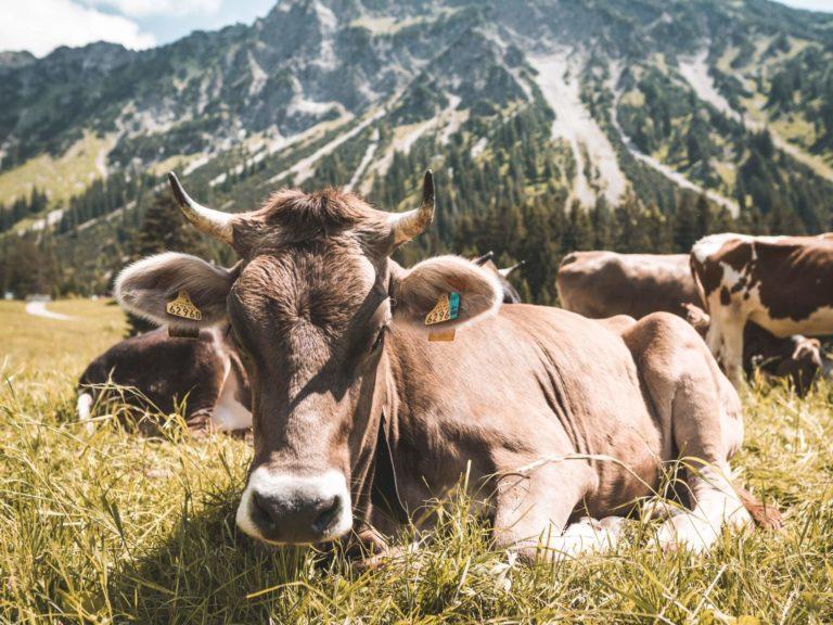 Prodotti tipici Bergamaschi - montagna - cows